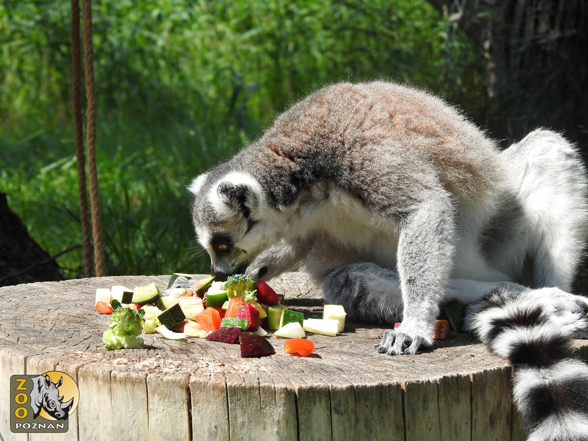 lemur_figa_01
