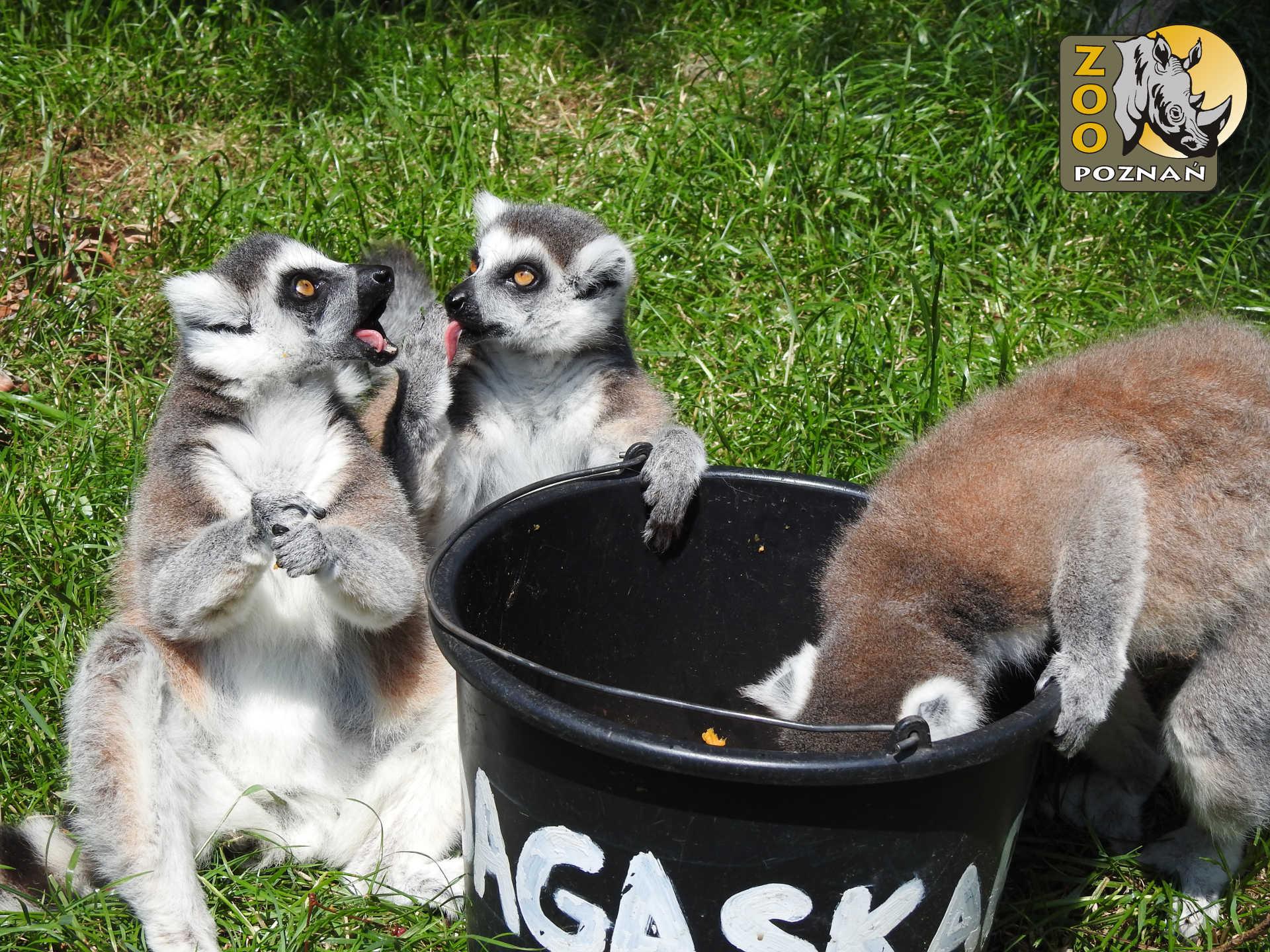 lemur_figa_02
