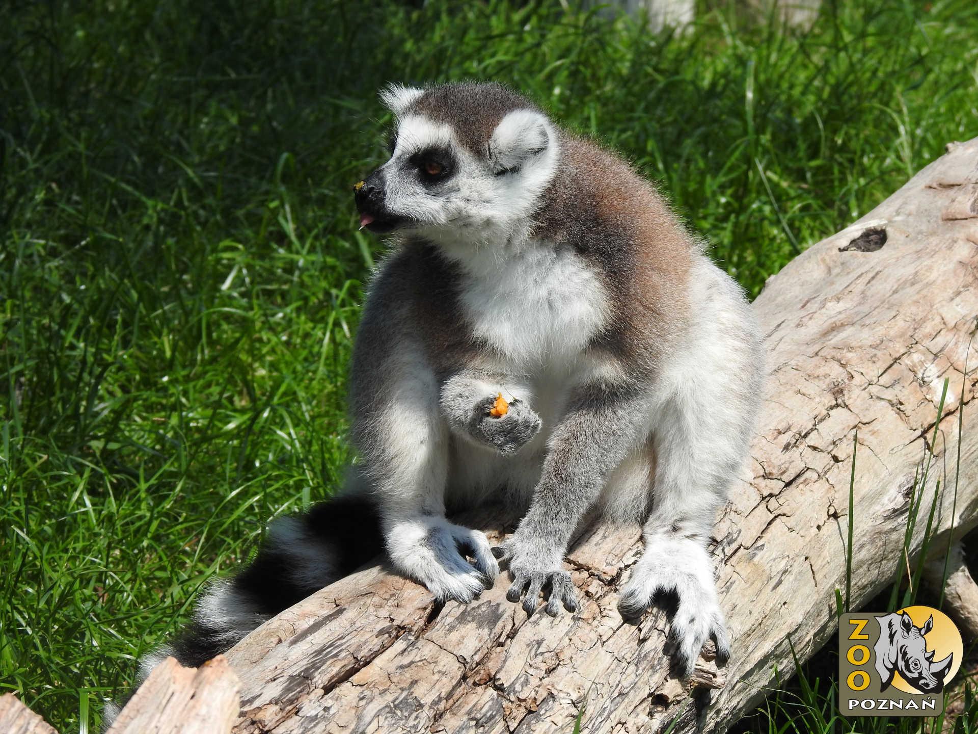 lemur_figa_03